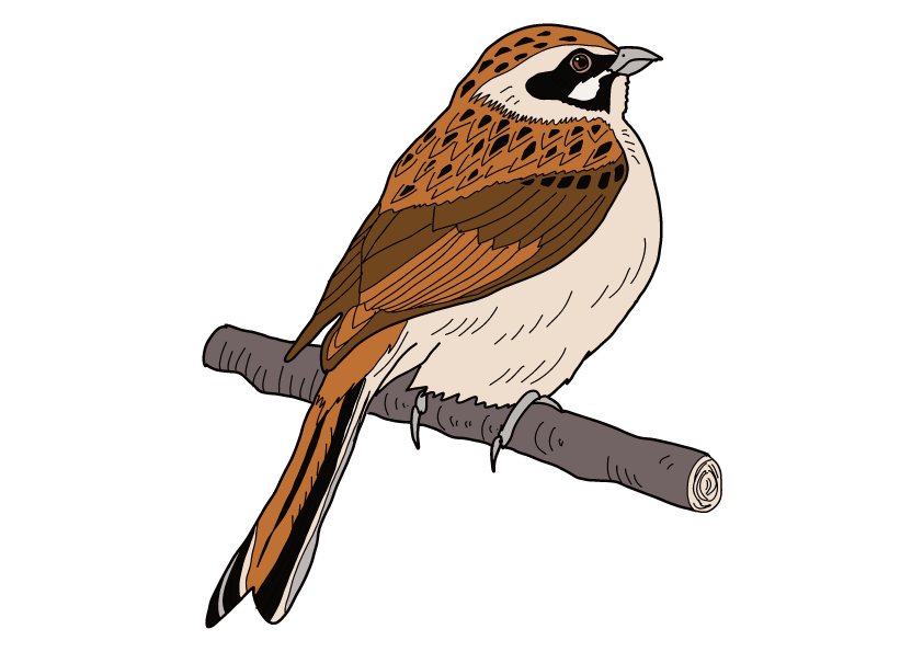 千葉県の県鳥-ホオジロ