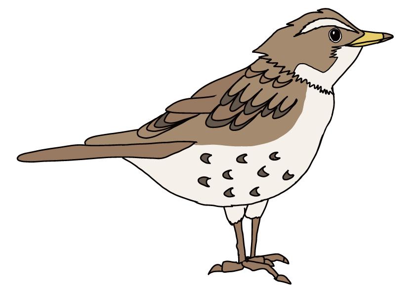 福井県の県鳥-ツグミ
