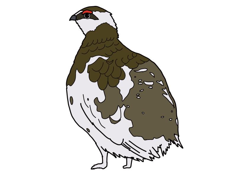 岐阜県の県鳥-ライチョウ