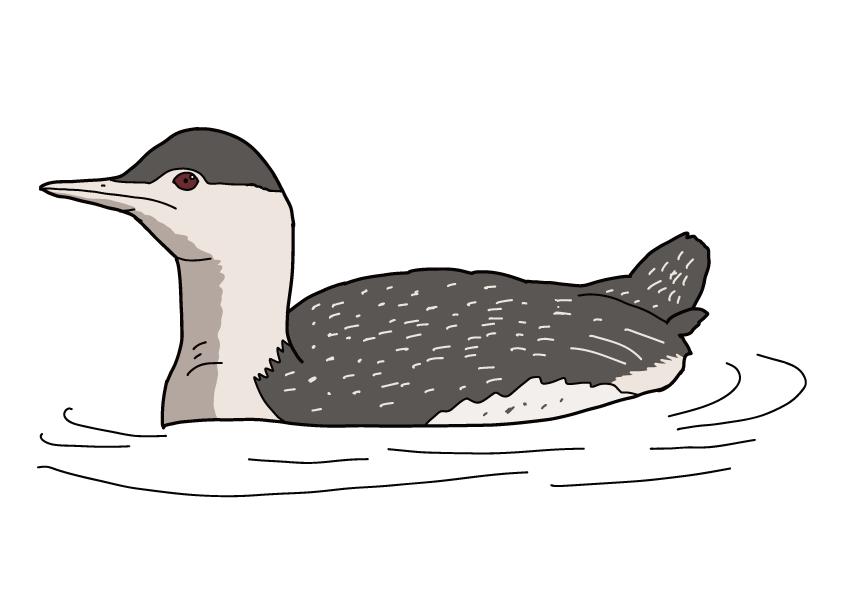 広島県の県鳥-アビ
