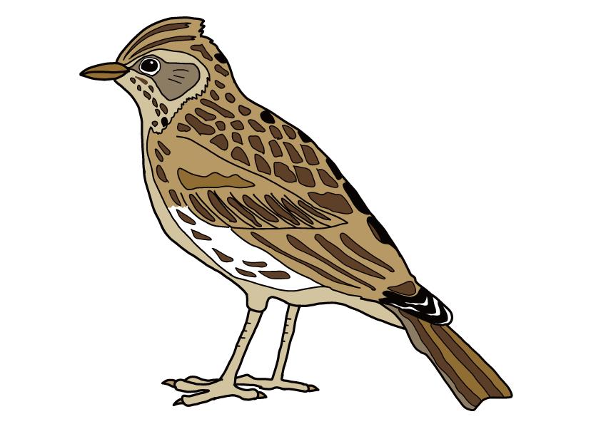 茨城県の県鳥-ヒバリ