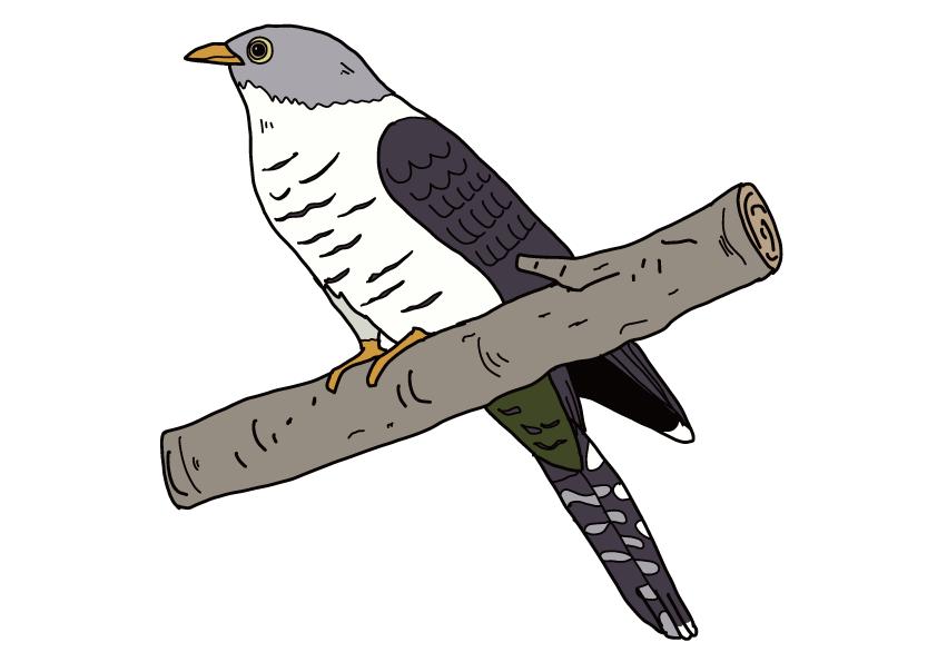 香川県の県鳥-ホトトギス
