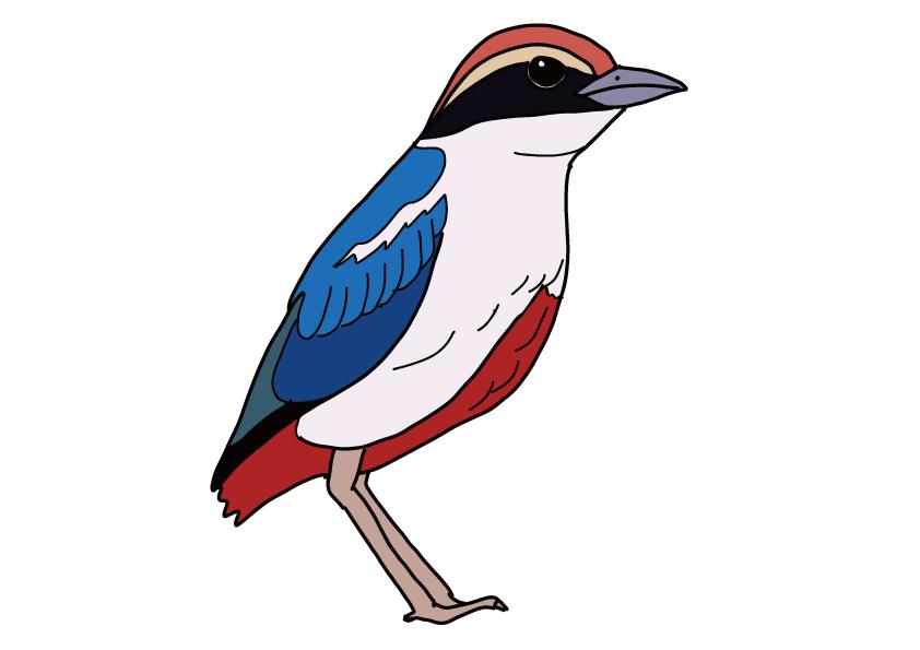 高知県の県鳥-ヤイロチョウ