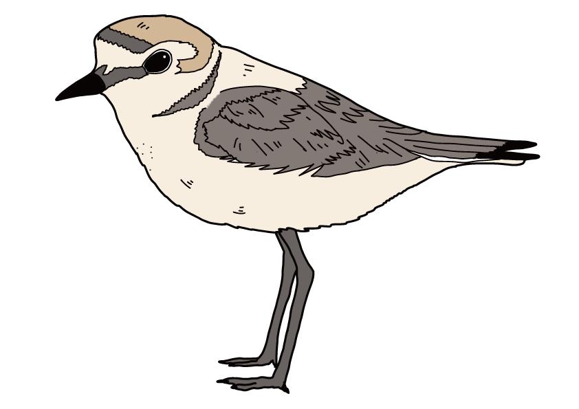 三重県の県鳥-シロチドリ