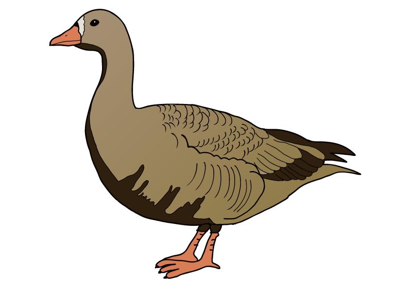宮城県の県鳥-ガン