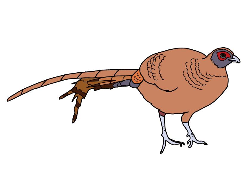 宮崎県の県鳥-コシジロヤマドリ