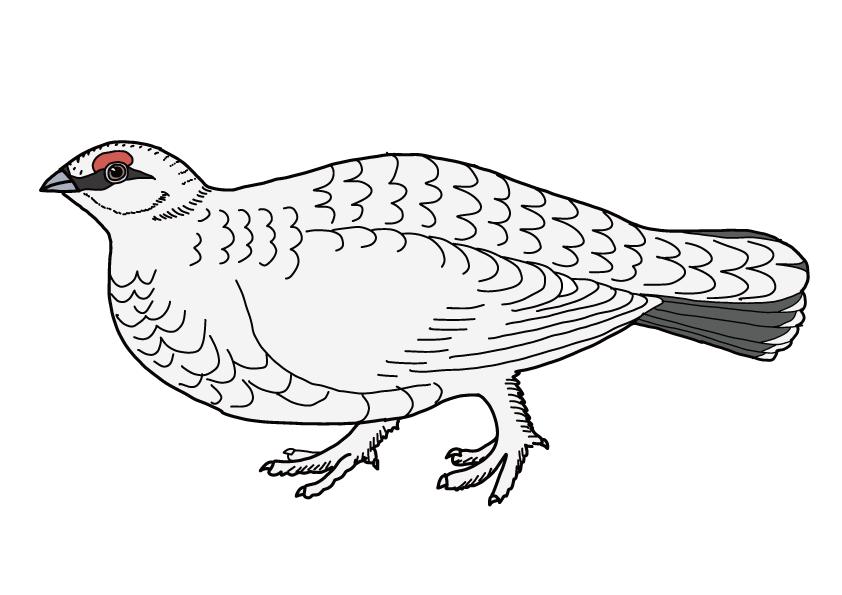 長野県の県鳥-ライチョウ