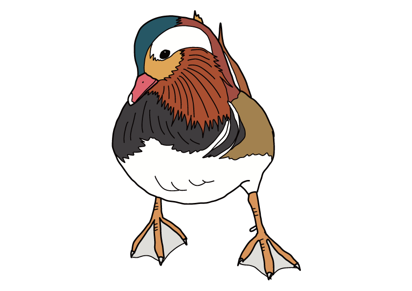 長崎県の県鳥-オシドリ