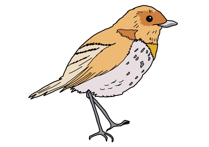 奈良県の県鳥-コマドリ