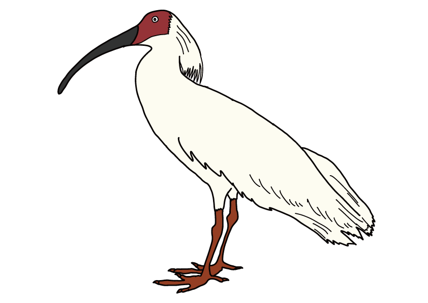 新潟県の県鳥-トキ
