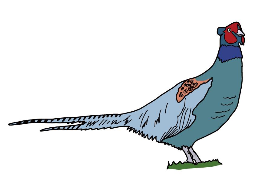 岡山県の県鳥-キジ