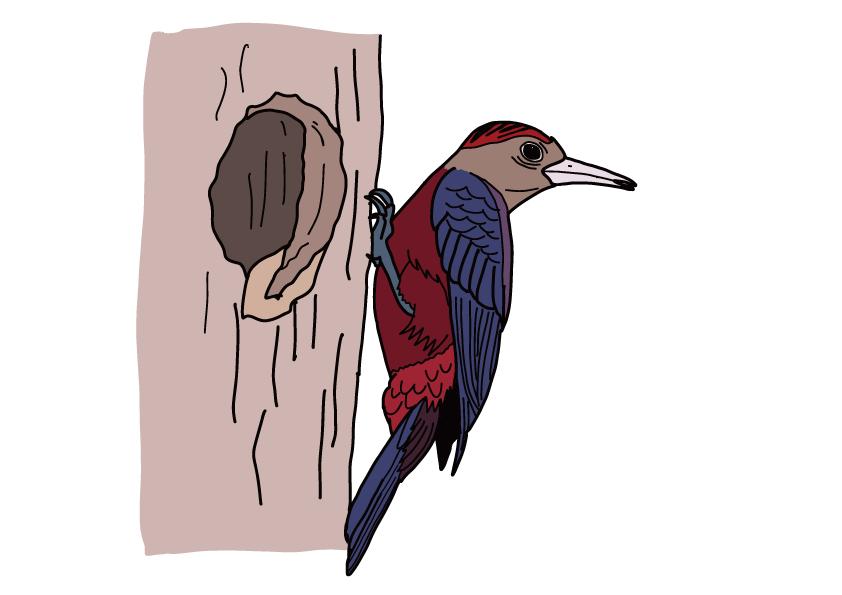 沖縄県の県鳥-ノグチゲラ
