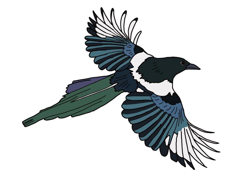 佐賀県の県鳥-カササギ