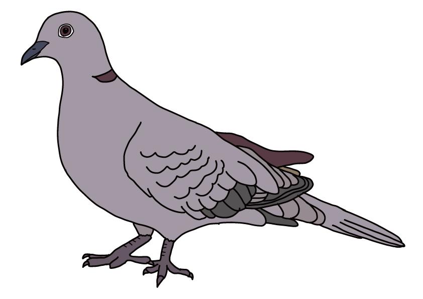 埼玉県の県鳥-ハト