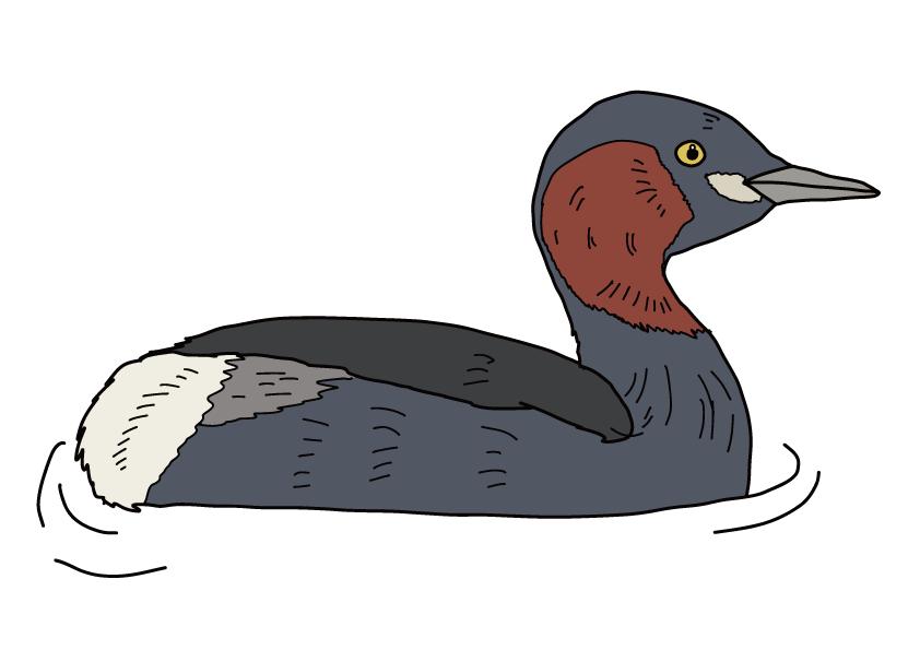 滋賀県の県鳥-カイツブリ
