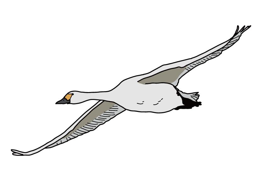 島根県の県鳥-ハクチョウ
