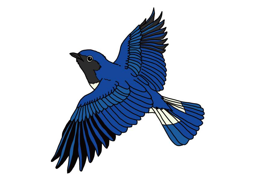 栃木県の県鳥-オオルリ