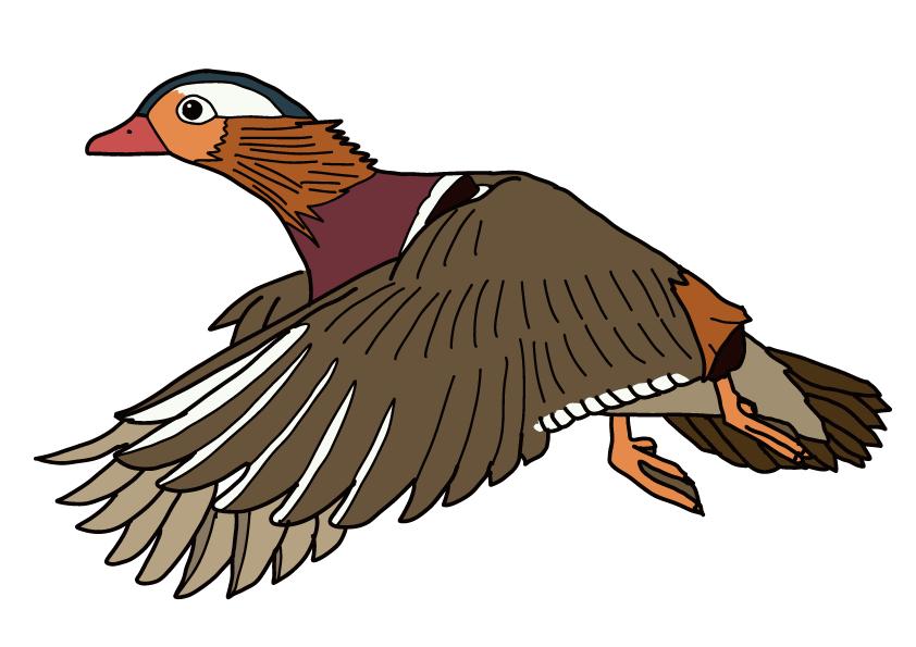 鳥取県の県鳥-オシドリ