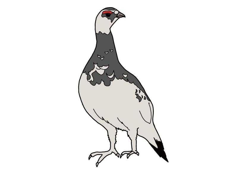 富山県の県鳥-ライチョウ