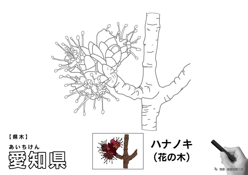県木 愛知県 ハナノキ(花の木)のイラスト・ぬりえ