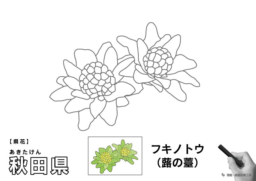 県花 秋田県 フキノトウ(蕗の薹)のイラスト・ぬりえ