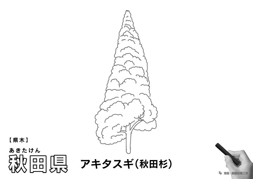 県木 秋田県 アキタスギ(秋田杉)のイラスト・ぬりえ