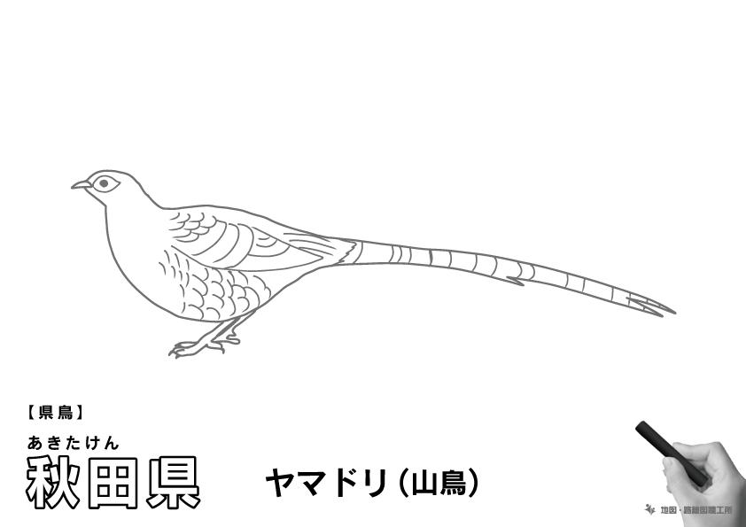 県鳥 秋田県 ヤマドリ(山鳥)のイラスト・ぬりえ