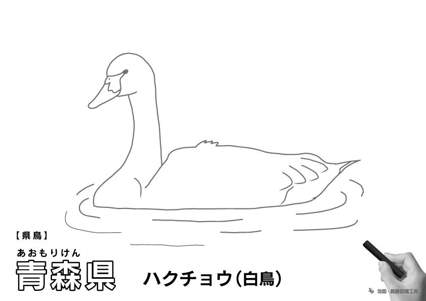 県鳥 青森県 ハクチョウ(白鳥)のイラスト・ぬりえ