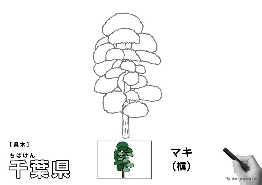 県木 千葉県 マキ(槇)のイラスト・ぬりえ