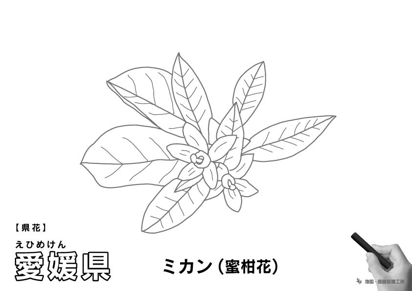 県花 愛媛県 ミカン(蜜柑)のイラスト・ぬりえ