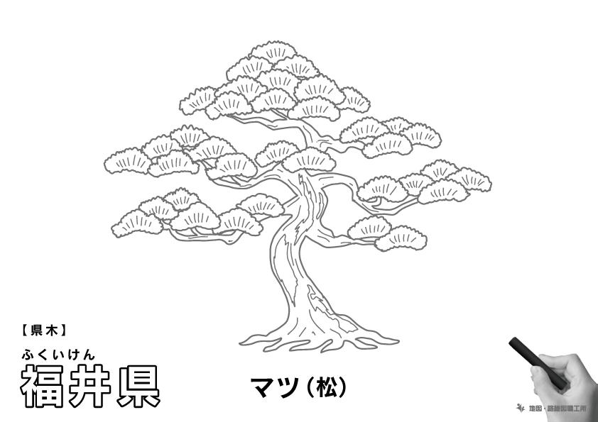 県木 福井県 マツ(松)のイラスト・ぬりえ