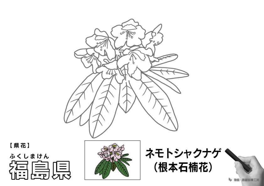 県花 福島県 ネモトシャクナゲ(根本石楠花)のイラスト・ぬりえ