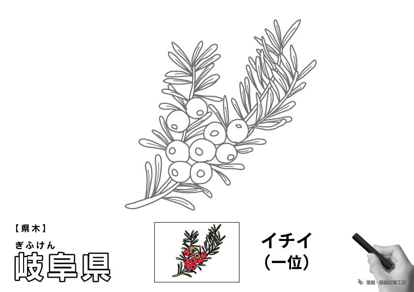 県木 岐阜県 イチイ(一位)のイラスト・ぬりえ