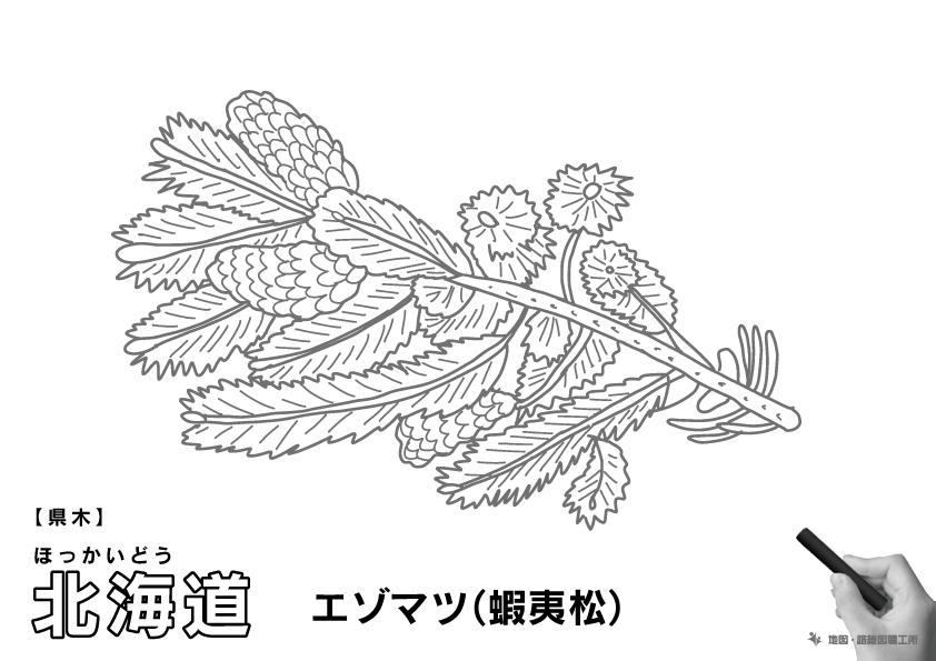 県木 北海道 エゾマツ(蝦夷松)のイラスト・ぬりえ