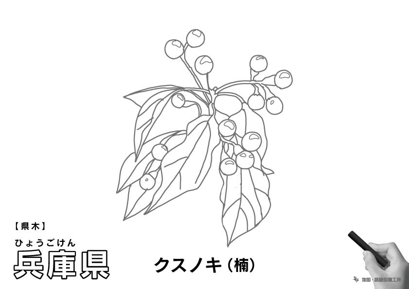 県木 兵庫県 クスノキ(楠)のイラスト・ぬりえ