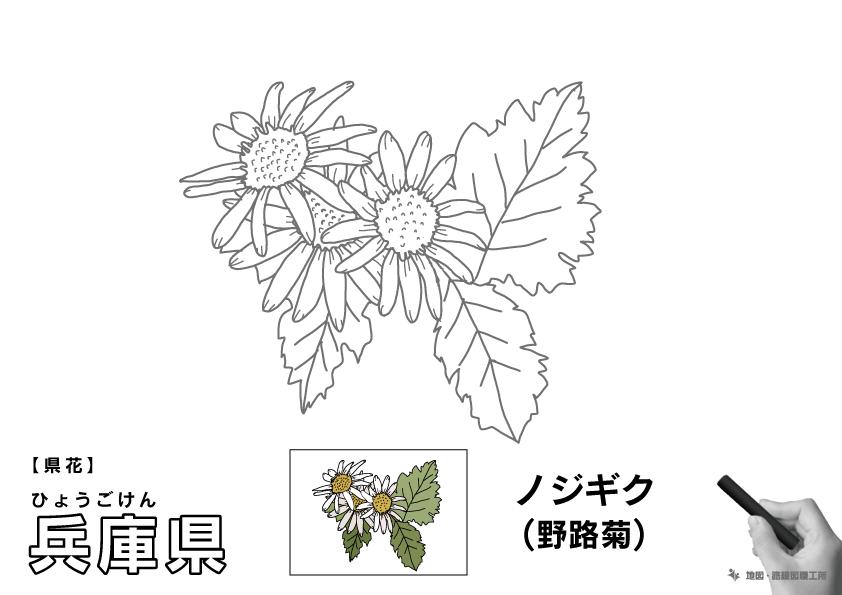 県花 兵庫県 ノジギク(野路菊)のイラスト・ぬりえ