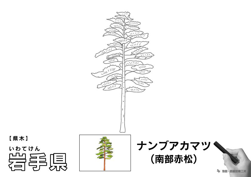 県木 岩手県 ナンブアカマツ(南部赤松)のイラスト・ぬりえ