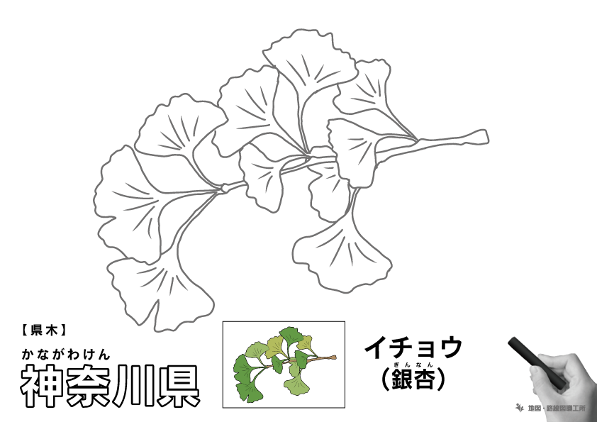 県木 神奈川県 イチョウ(銀杏)のイラスト・ぬりえ