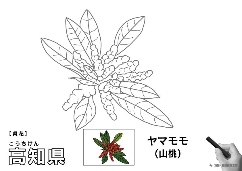 県花 高知県 ヤマモモ(山桃)のイラスト・ぬりえ