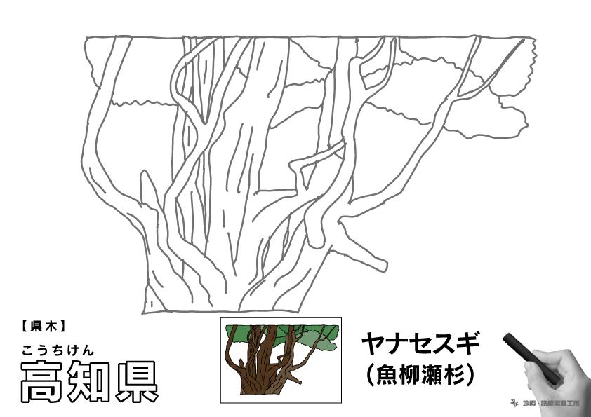 県木 高知県 ヤナセスギ(魚柳瀬杉)のイラスト・ぬりえ