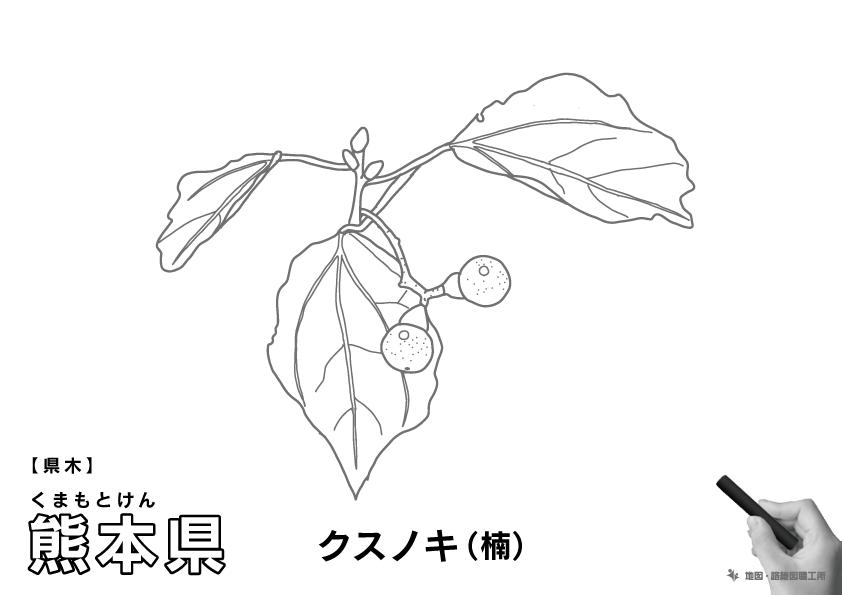 県木 熊本県 クスノキ(楠)のイラスト・ぬりえ