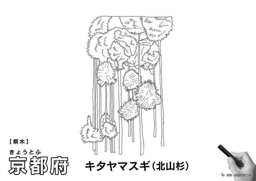 県木 京都府 キタヤマスギ(北山杉)のイラスト・ぬりえ