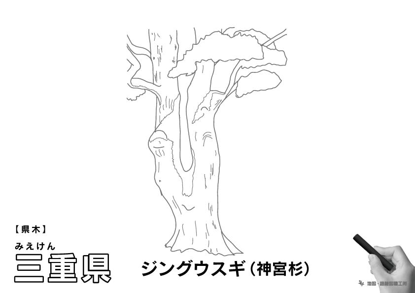 県木 三重県 ジングウスギ(神宮杉)のイラスト・ぬりえ