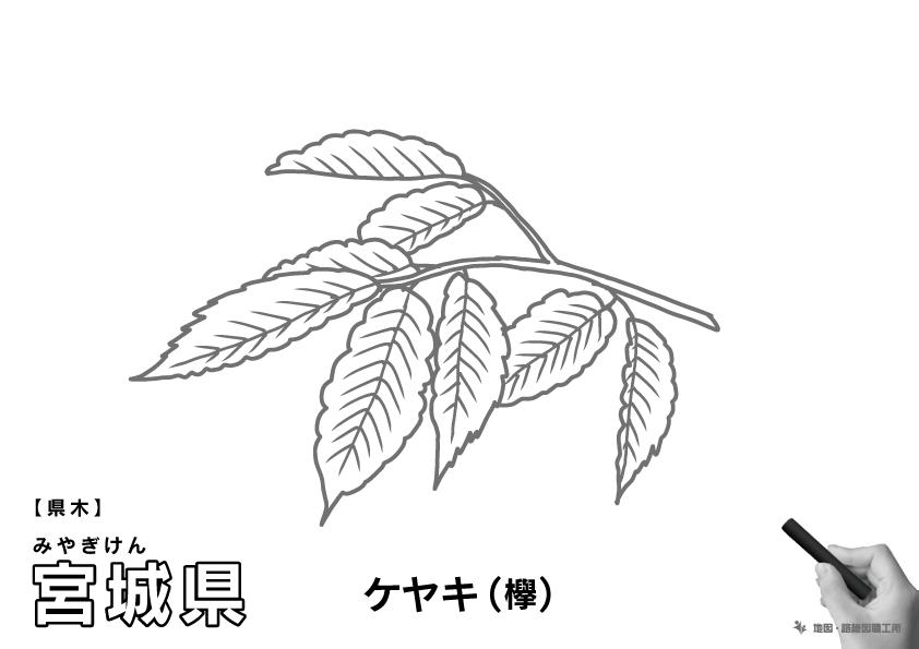 県木 宮城県 ケヤキ(欅)のイラスト・ぬりえ