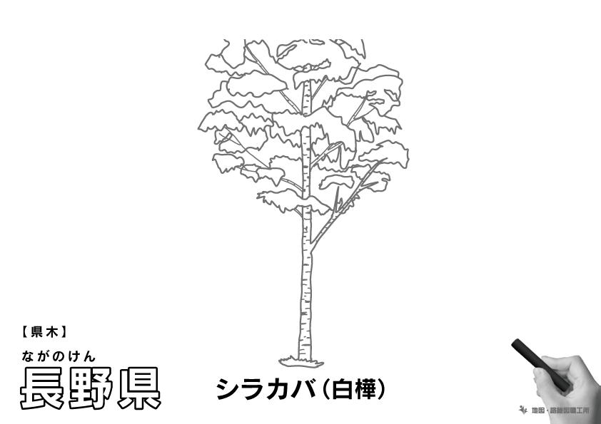 県木 長野県 シラカバ(白樺)のイラスト・ぬりえ