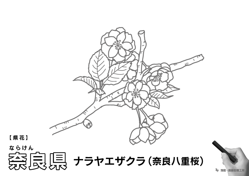 県花 奈良県 ナラヤエザクラ(奈良八重桜)のイラスト・ぬりえ