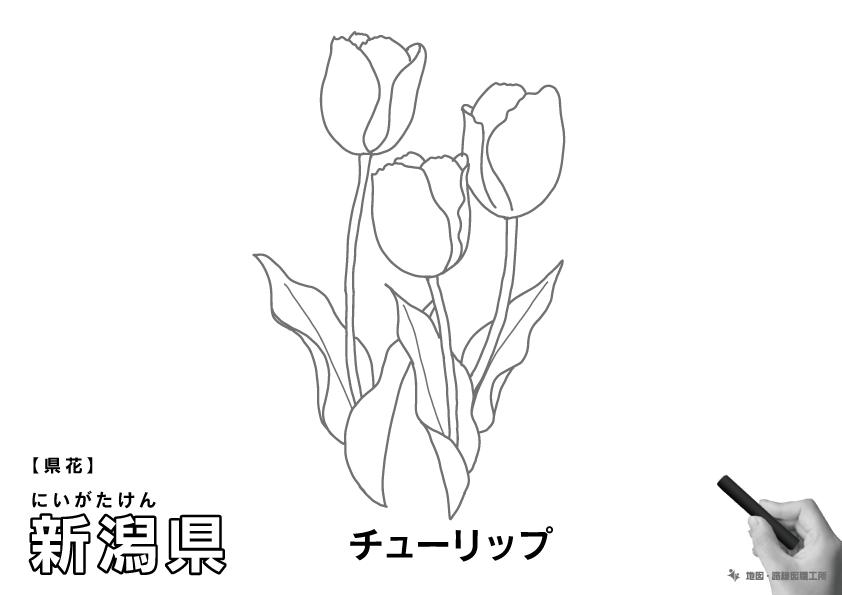 県花 新潟県 チューリップのイラスト・ぬりえ