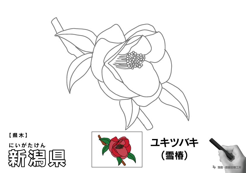 県木 新潟県 ユキツバキ(雪椿)のイラスト・ぬりえ