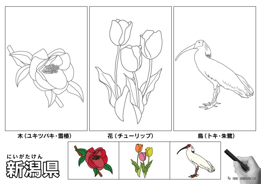新潟県 県木 県花 県鳥 のイラスト・ぬりえ
