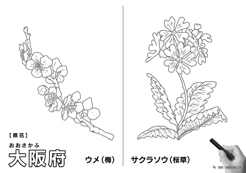 県花 大阪府 サクラソウ(桜草)のイラスト・ぬりえ